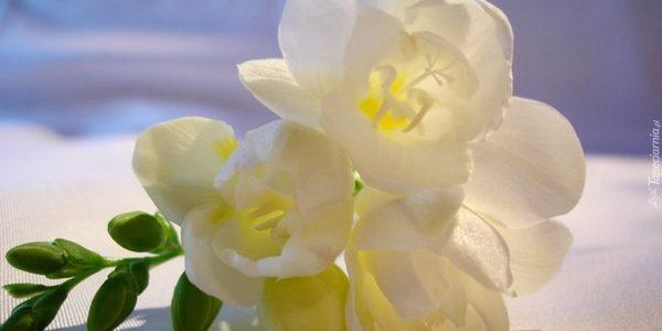 Frezja - delikatność - kwiaty na ślub i wesele